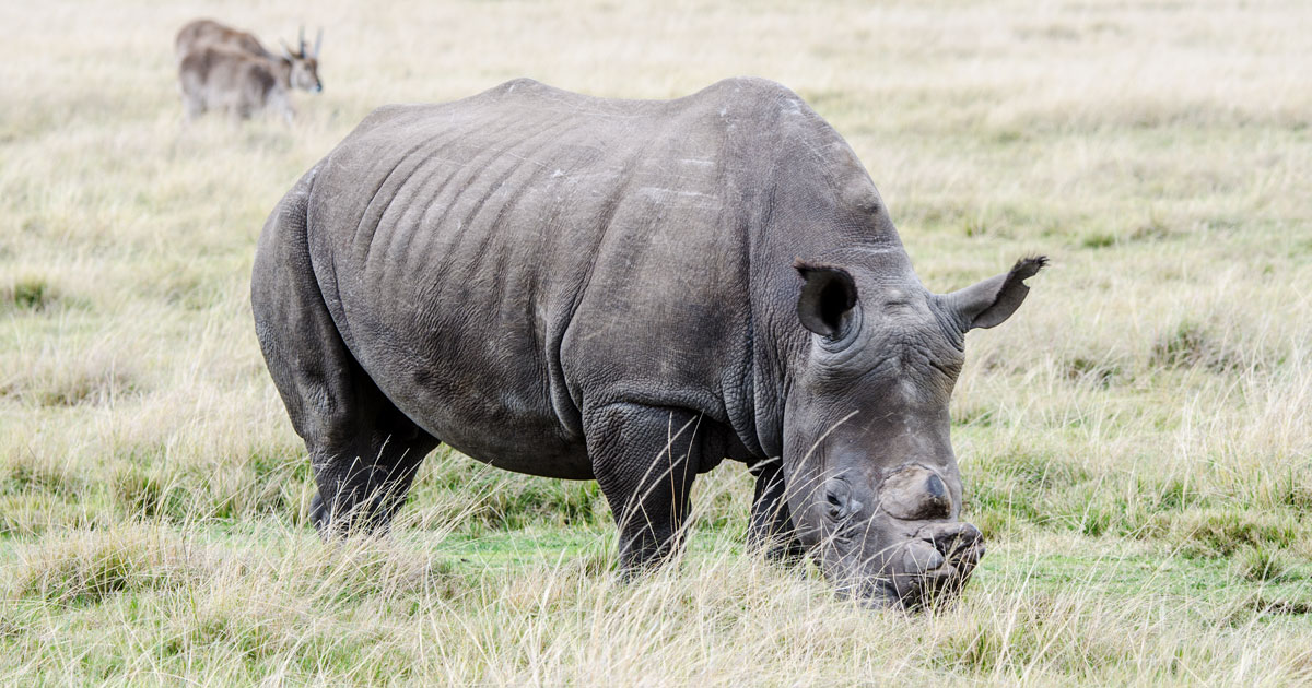 A near-threatened Southern White Rhino grazing at Plettenberg Bay Game Reserve along the Garden Route in South Africa on August 6, 2016. His horn was removed to deter poachers, but guards still keep a close eye on the 2 rhinos and elephant family at that reservation.