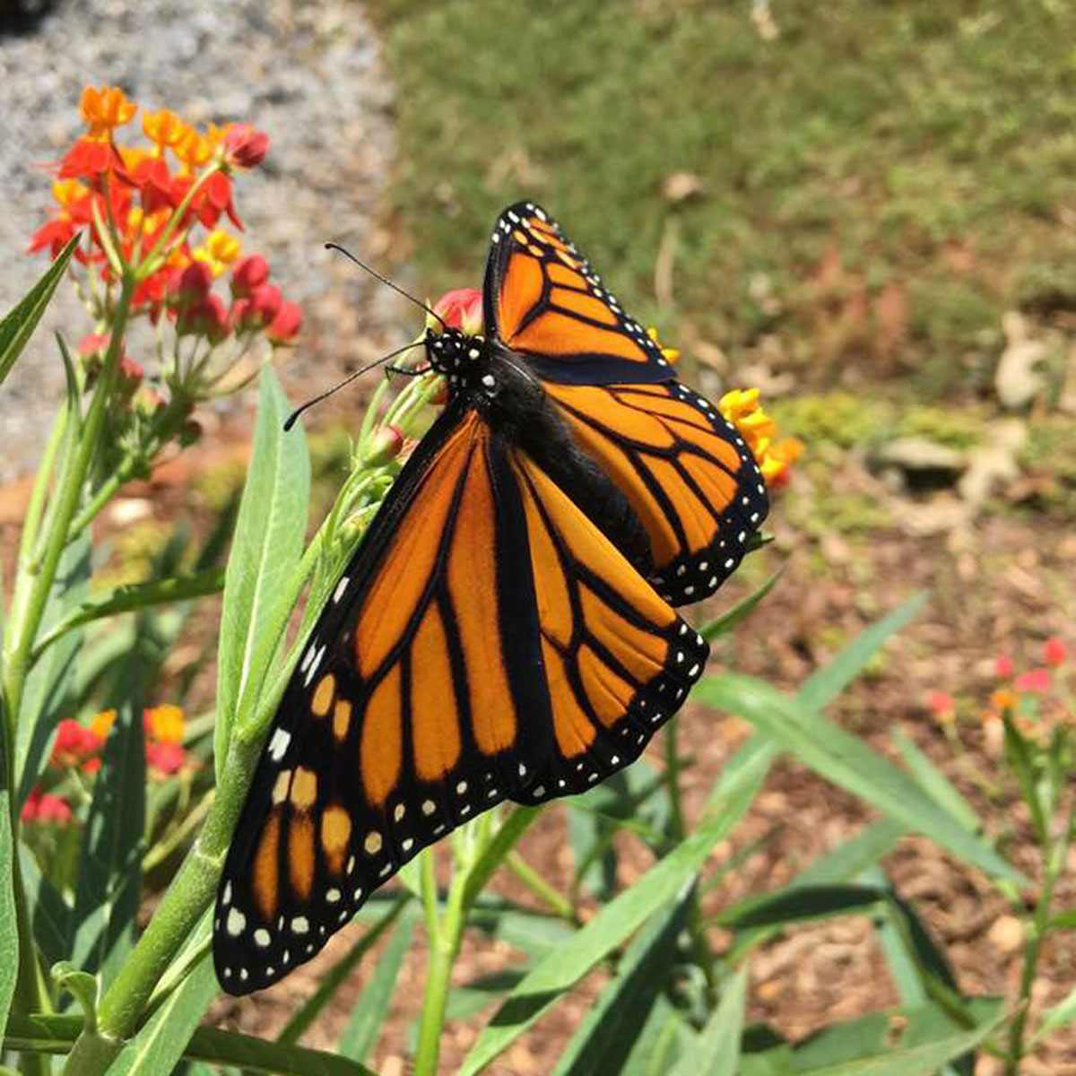 Free at last! This is one of 7 Monarch butterflies that Barbara saved this year